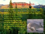 the snowshoe rabbit
