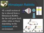 himalayan rabbits