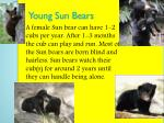 young sun bears