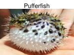 p ufferfish