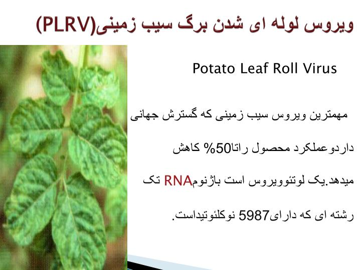 ویروس لوله ای شدن برگ سیب زمینی(