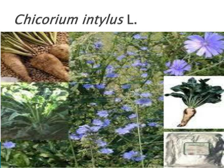 Chicorium