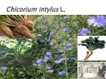chicorium intylus l