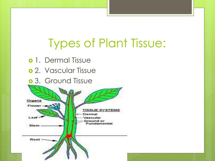 Types of Plant Tissue: