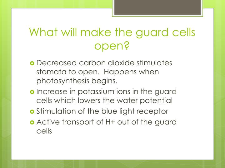 What will make the guard cells open?
