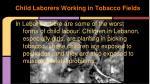 child laborers working in tobacco fields