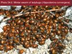 photo 54 6 winter swarm of ladybugs hippodanina convergens