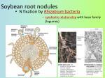 soybean root nodules