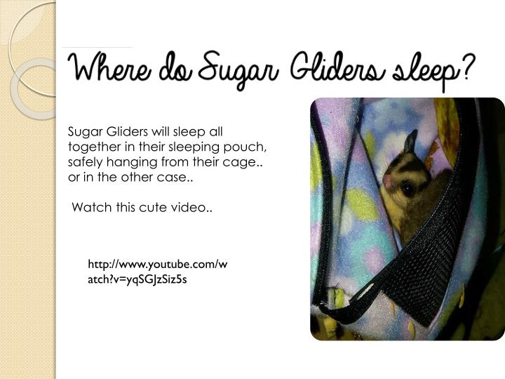 Sugar Gliders will sleep all together in their sleeping pouch, safely hanging from their cage.. or in the other case..