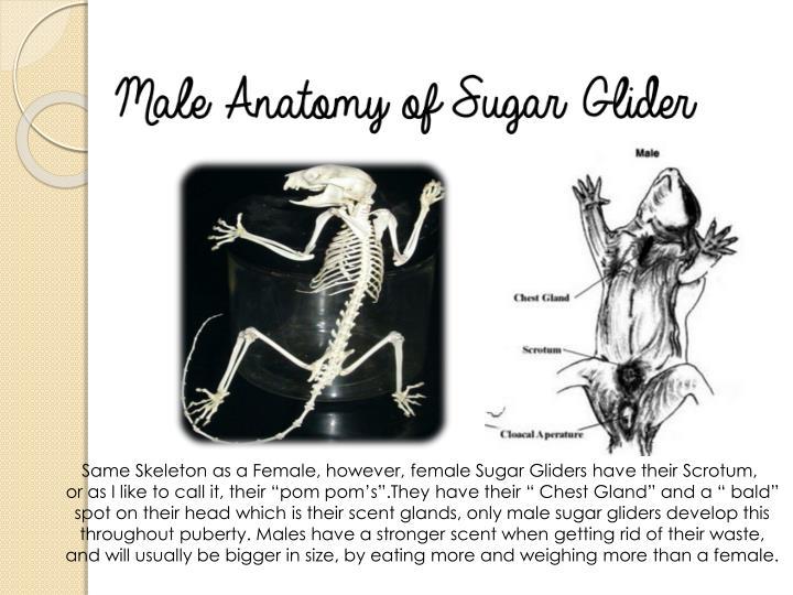 Same Skeleton as a Female, however, female Sugar Gliders have their Scrotum,