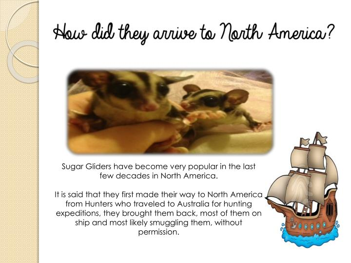 Sugar Gliders have become very popular in the last few decades in North America.