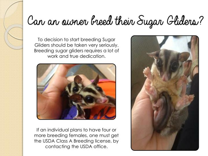 To decision to start breeding Sugar Gliders should be taken very seriously. Breeding sugar gliders requires a lot of work and true dedication.