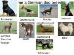 name a german dog breed1