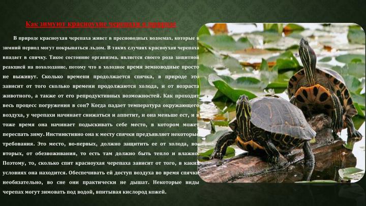 Красноухая черепаха может жить без воды