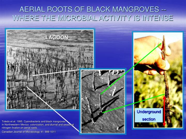 AERIAL ROOTS OF BLACK MANGROVES -- WHERE THE MICROBIAL ACTIVITY IS INTENSE