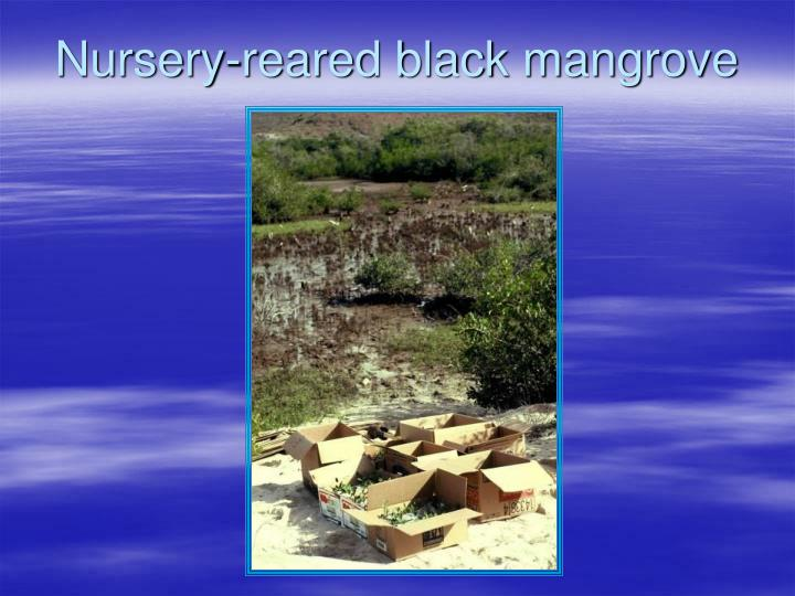 Nursery-reared black mangrove