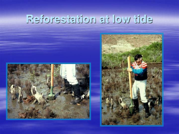 Reforestation at low tide