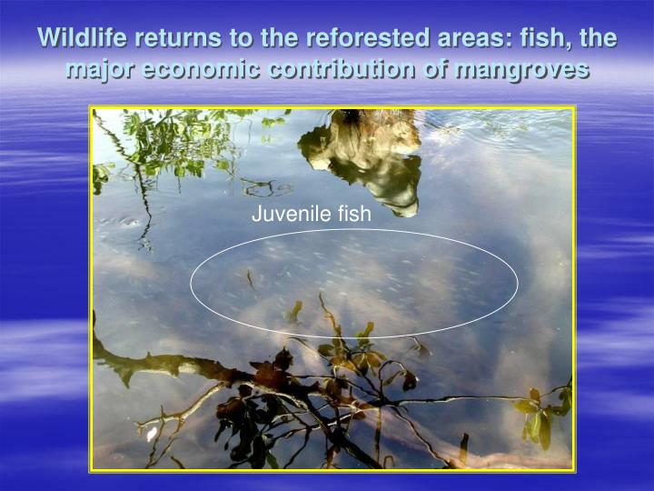 Wildlife returns to the reforested areas: fish, the major economic contribution of mangroves
