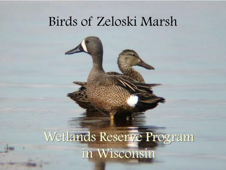 Birds of zeloski marsh