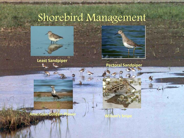 Shorebird Management