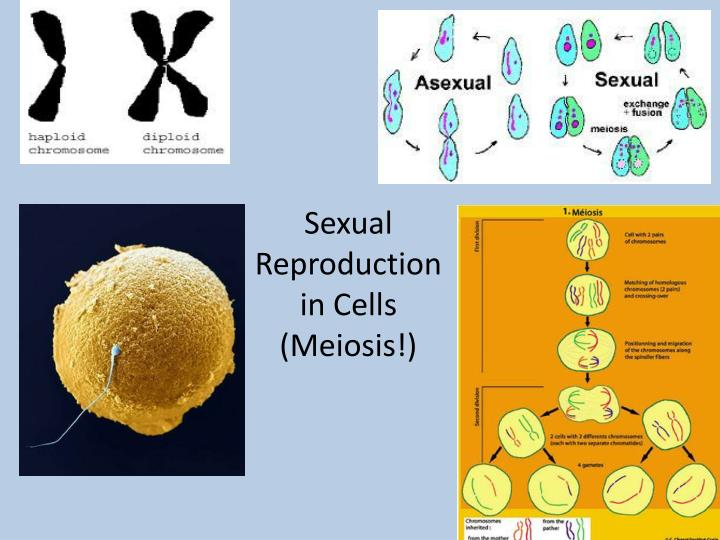 sexual reproduction in cells meiosis n.