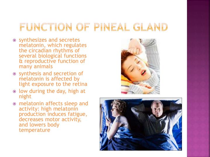 Function of pineal gland