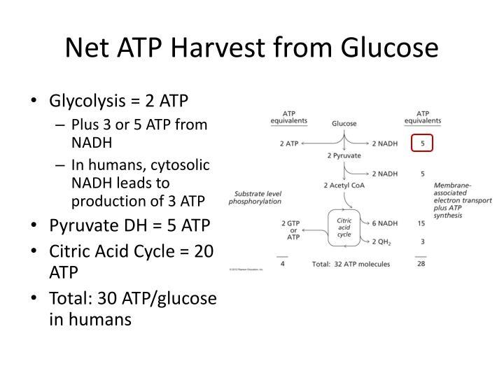 Net ATP Harvest from Glucose