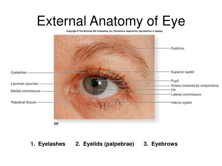Famous External Anatomy Of Eye Image Collection Anatomy And