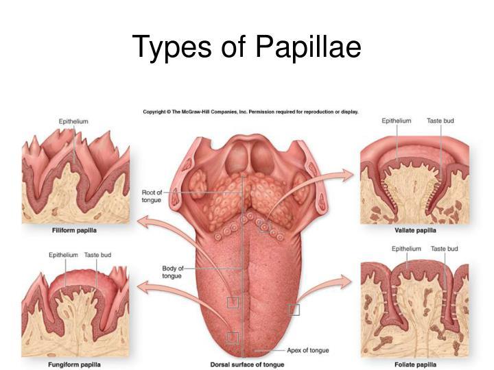 Summary Fungiform Papillae Tongue Taste Areas Innerbody