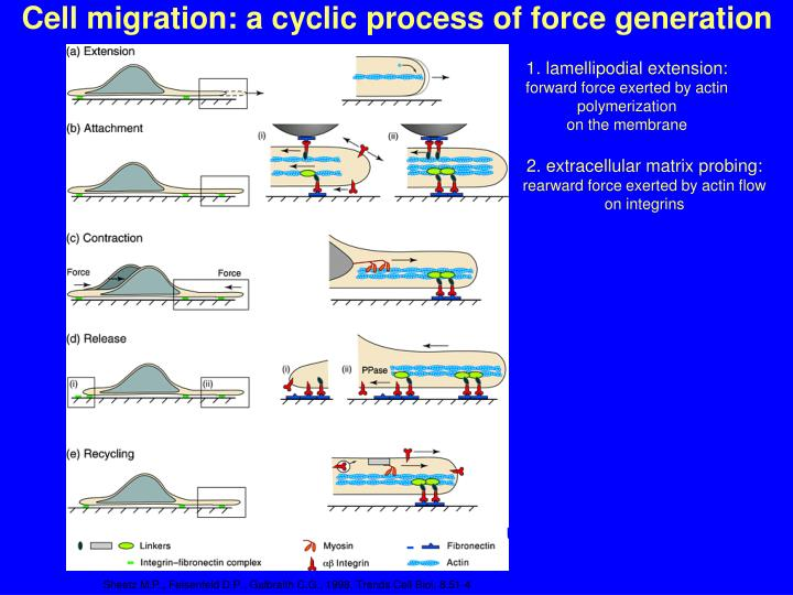 Cell migration: a cyclic process of force generation