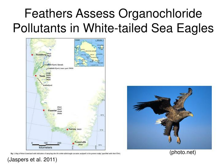 Feathers assess organochloride pollutants in white tailed sea eagles