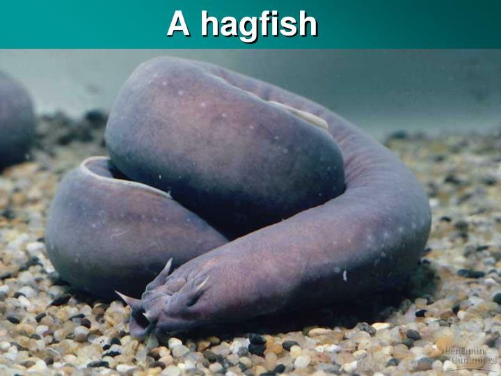 A hagfish