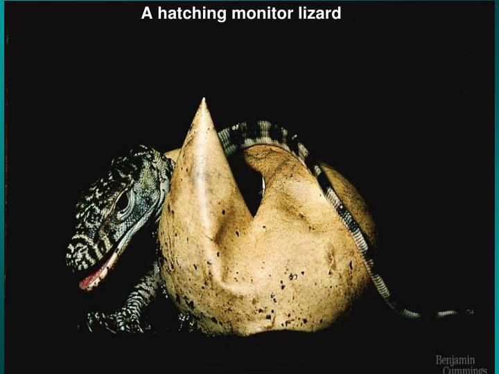 A hatching monitor lizard