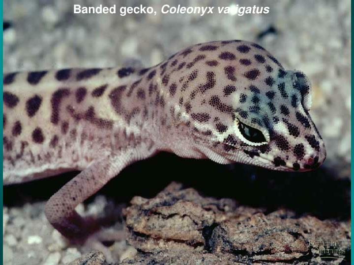 Banded gecko,