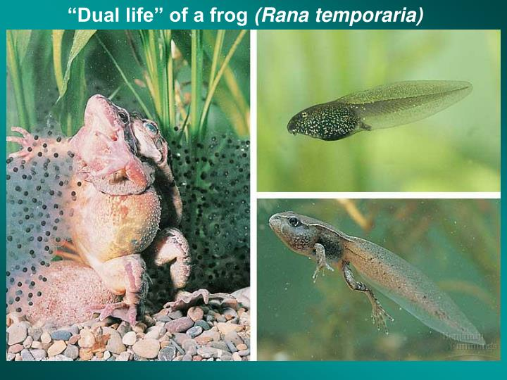 """""""Dual life"""" of a frog"""