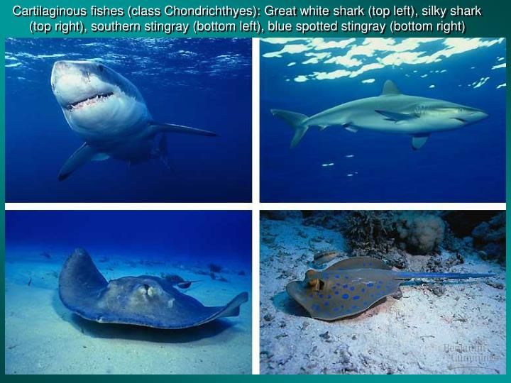 Cartilaginous fishes (class Chondrichthyes): Great white shark (top left), silky shark (top right), southern stingray (bottom left), blue spotted stingray (bottom right)