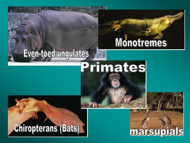 Monotremes