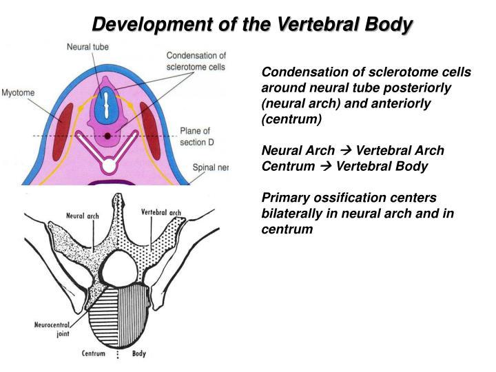 Ppt Vertebral Column 4 Th Week Onward Sept 29 Th 2014