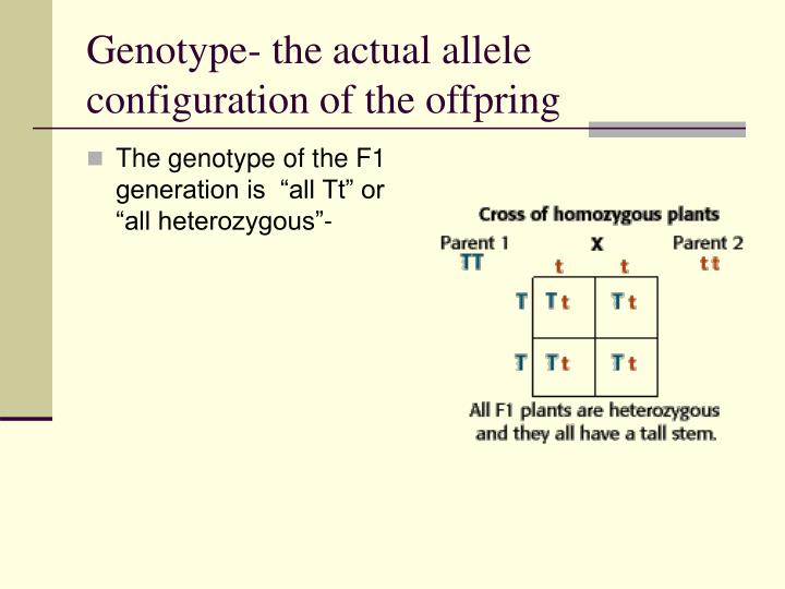 Genotype- the actual allele configuration of the offpring