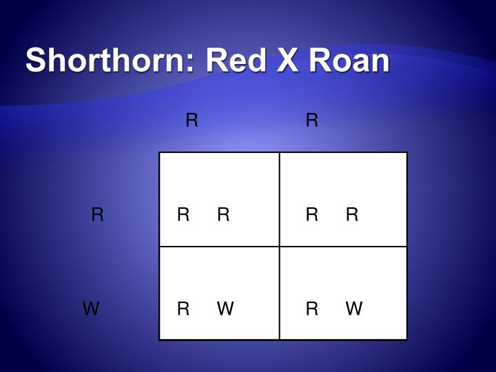 Shorthorn: Red X Roan