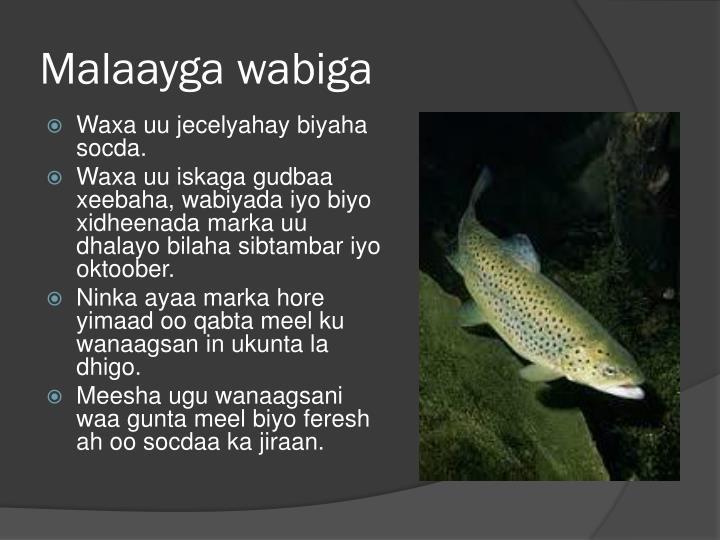 Malaayga wabiga