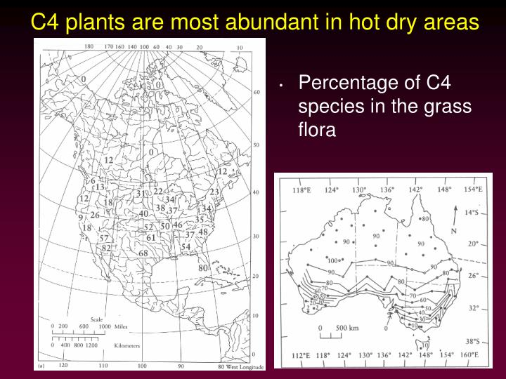 C4 plants are most abundant in hot dry areas