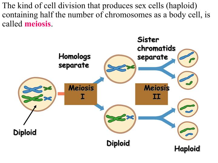 The kind of cell division that produces sex cells (haploid) containing half the number of chromosomes as a body cell, is called