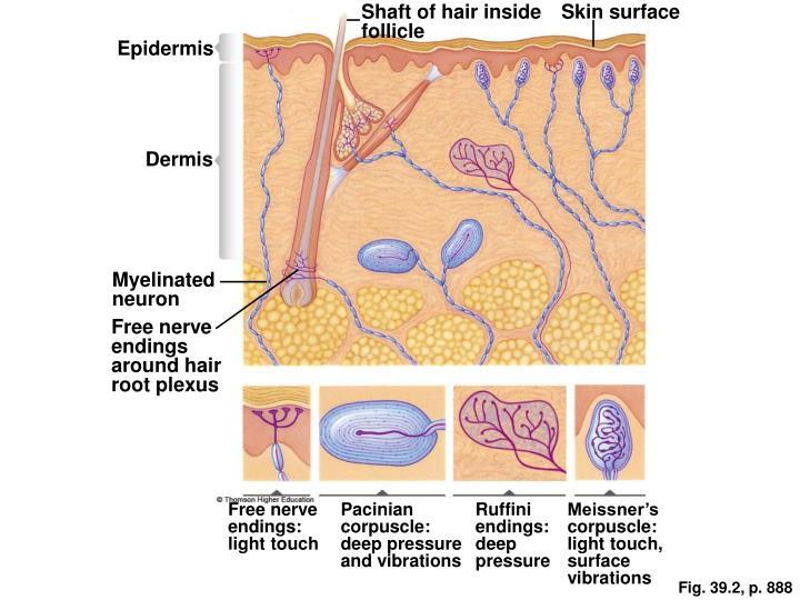 Shaft of hair inside follicle