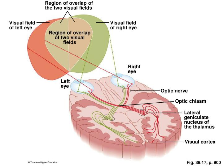 Region of overlap of the two visual fields