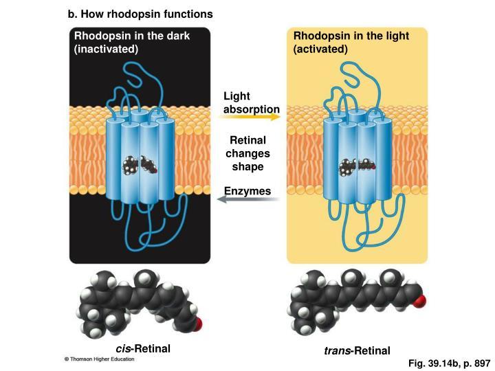 b. How rhodopsin functions