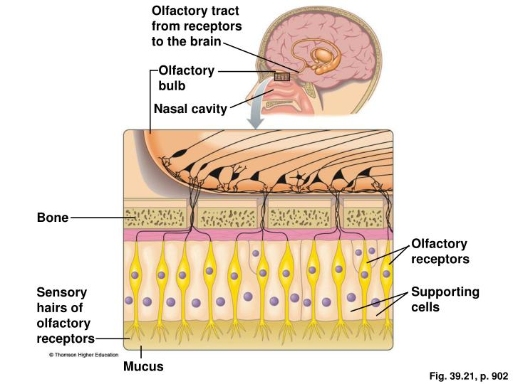 Olfactory tract from receptors to the brain