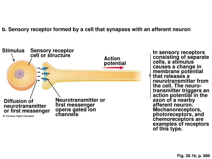 b. Sensory receptor formed by a cell that synapses with an afferent neuron