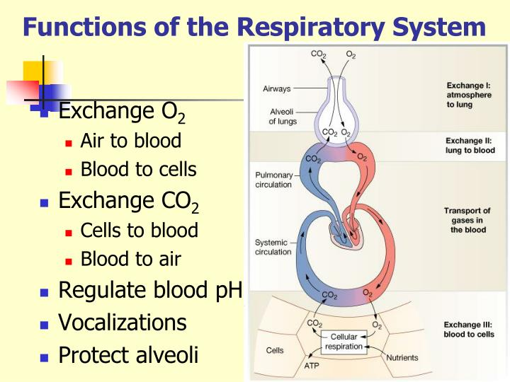 PPT - RESPIRATORY SYSTEM PowerPoint Presentation - ID:6562676