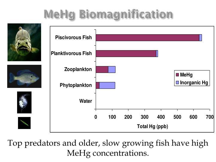 MeHg Biomagnification